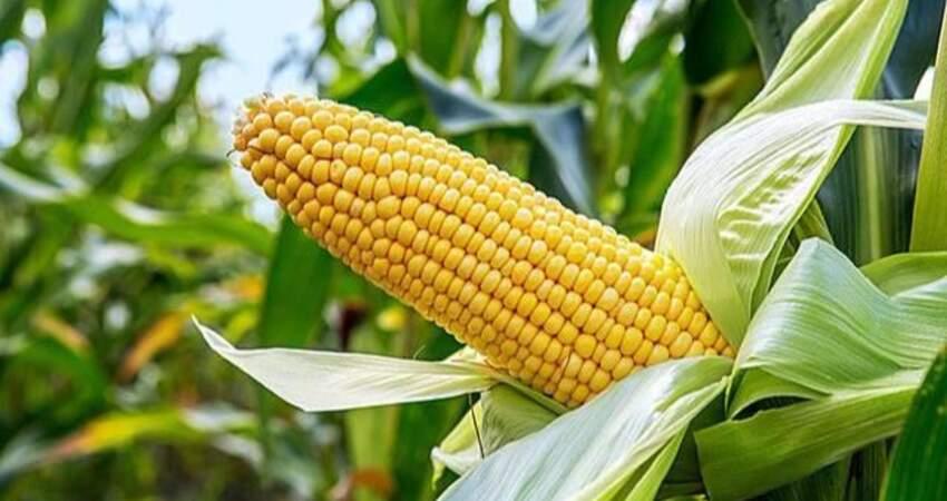 每天都喝一杯「玉米須」水,堅持一段時間後,身體會發生哪些變化
