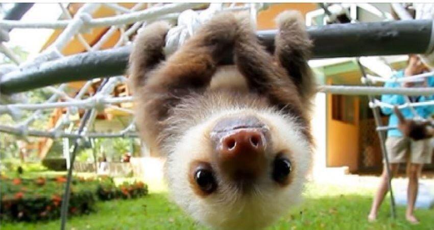 樹懶寶寶叫聲超像說人話! 小奶音一出…千萬網友被萌化❤