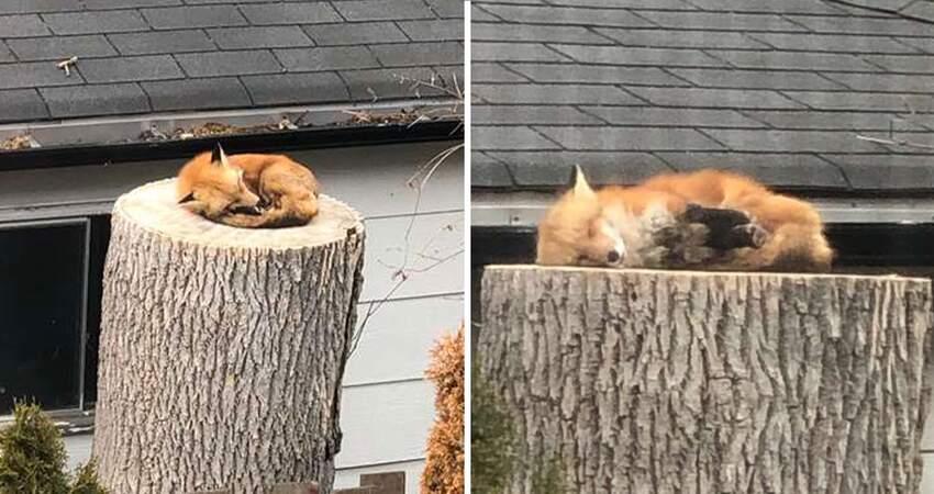 完全當自己家!萌狐不請自來「樹樁上酣睡」 翻身看到庭院主人:借人家躺一下嘛~